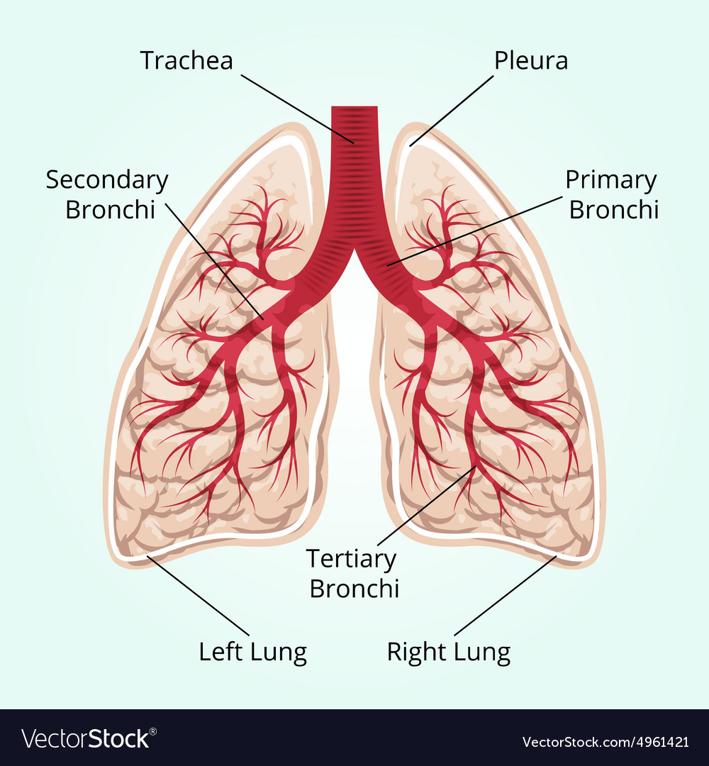 Structure Of The Lungs Royalty Free Vector Image