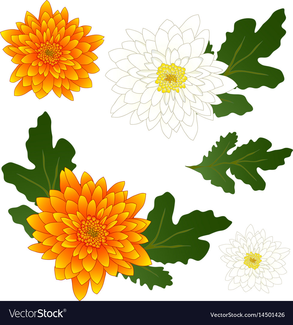 Yellow And White Chrysanthemum Flower Royalty Free Vector