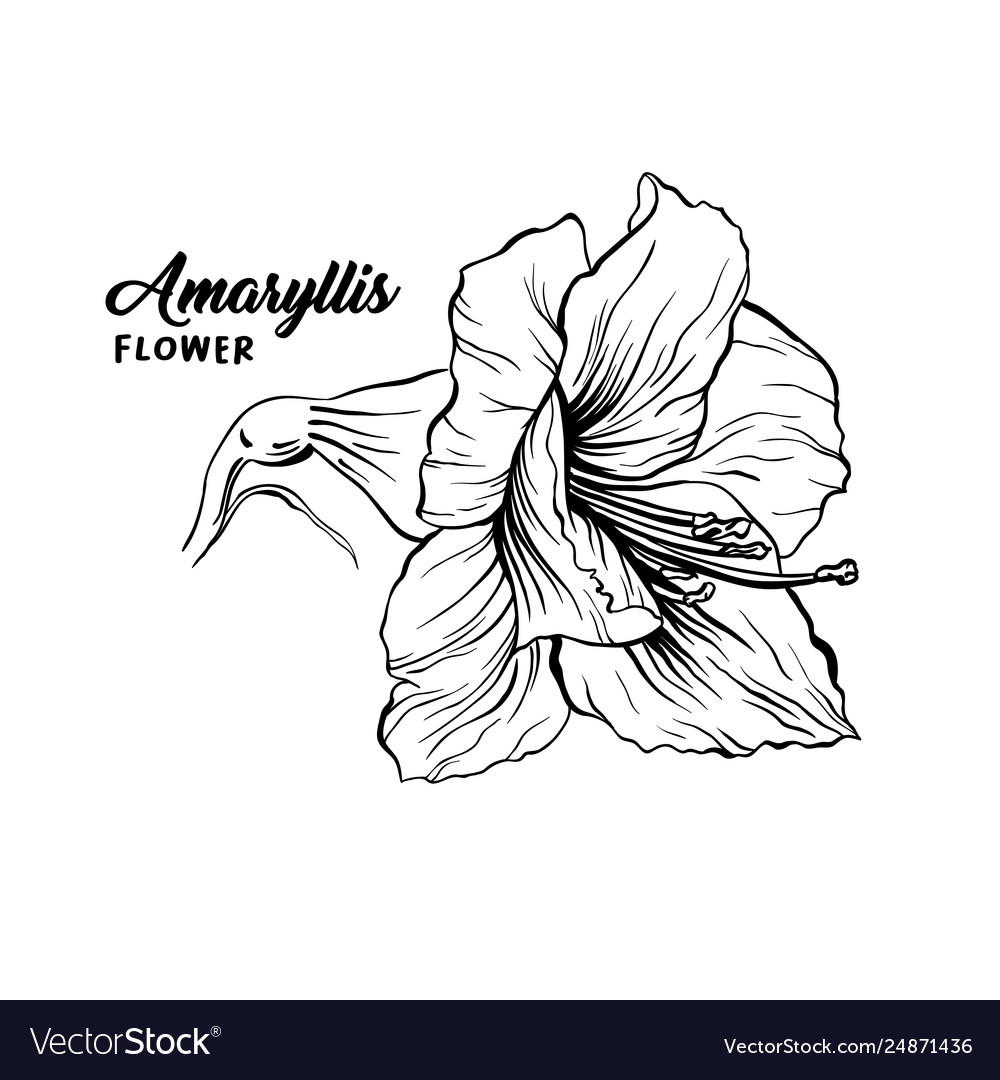 Amaryllis flower hand drawn
