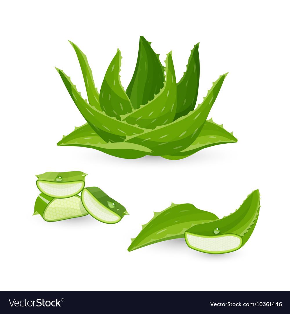 aloe vera plant and its parts royalty free vector image