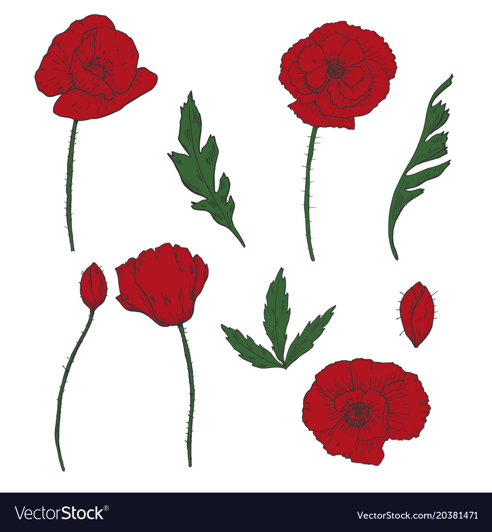 Drawing Flowers Poppy Flower Clip Art Royalty Free Vector