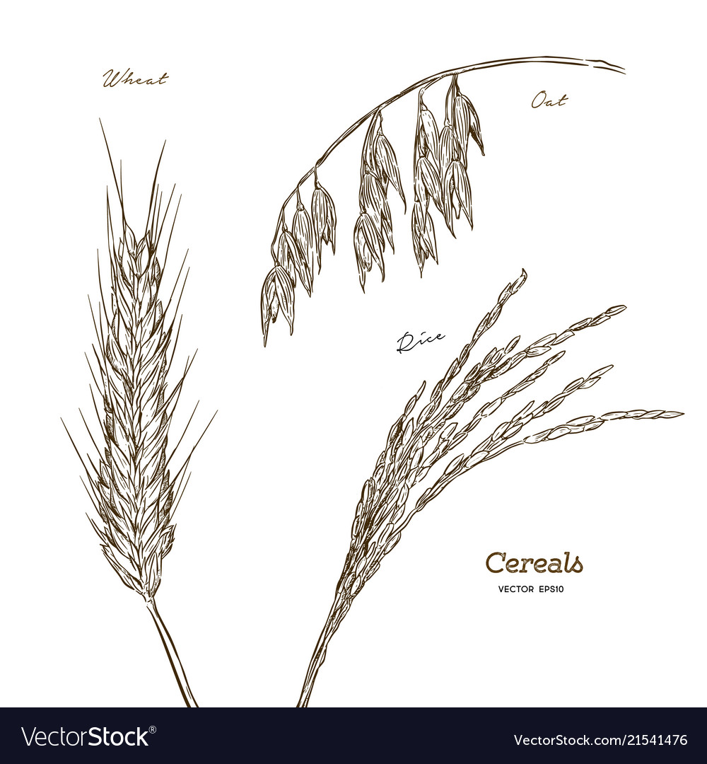 Cereals set hand drawn wheat oats rice