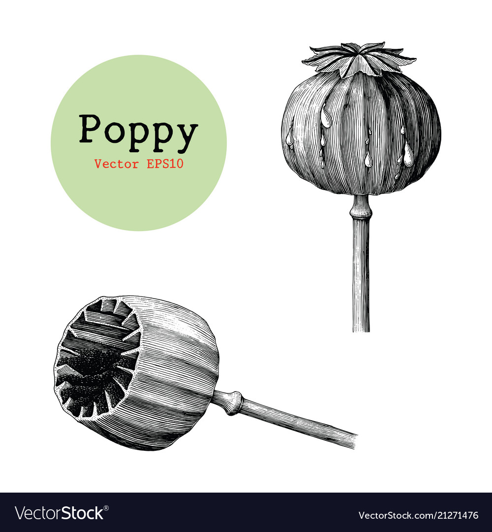 Poppy hand drawing vintage clip art isolated on