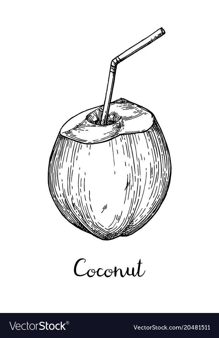 Ink Sketch Of Young Green Coconuts Vector Image