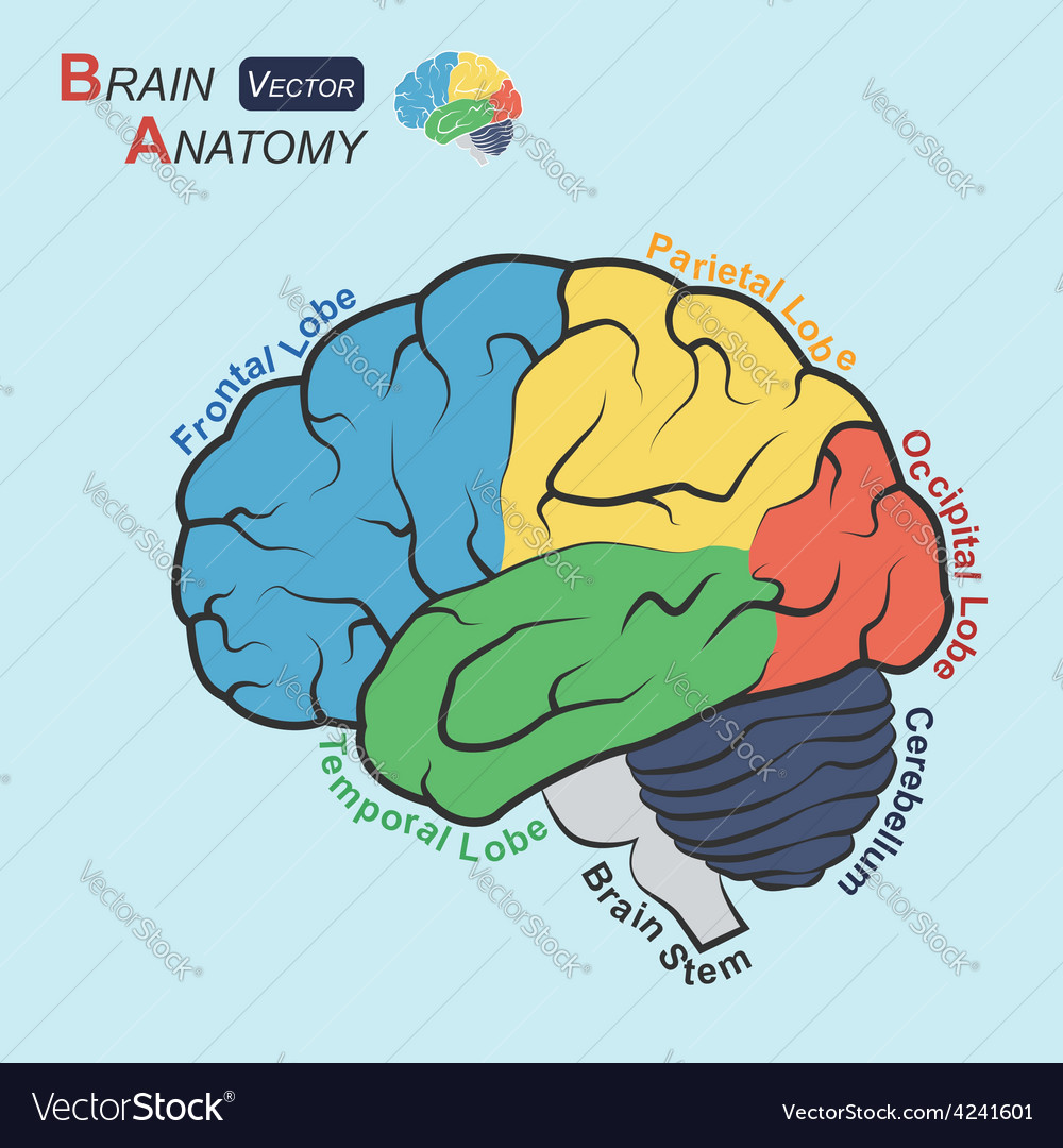 Brain Anatomy Flat Design Vt Royalty Free Vector Image