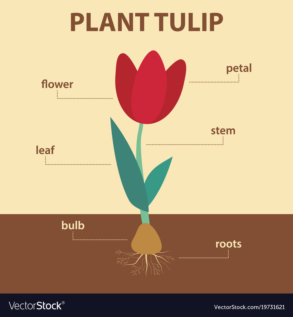 diagram showing parts of tulip whole plant vector image. Black Bedroom Furniture Sets. Home Design Ideas