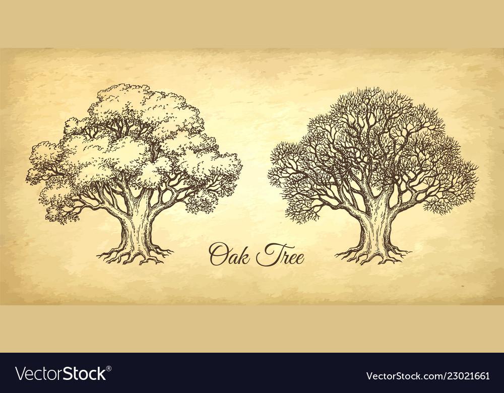 Ink sketch oak tree