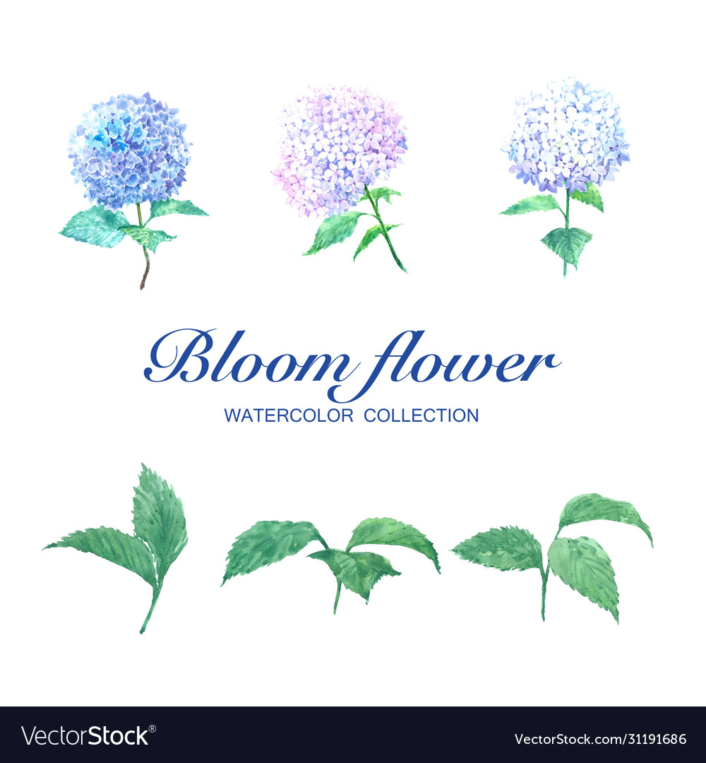 Bloom flower watercolor design hydrangea and