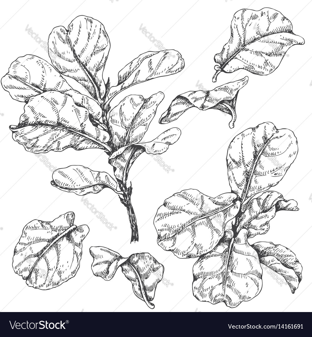 Ficus branches and leaves sketch