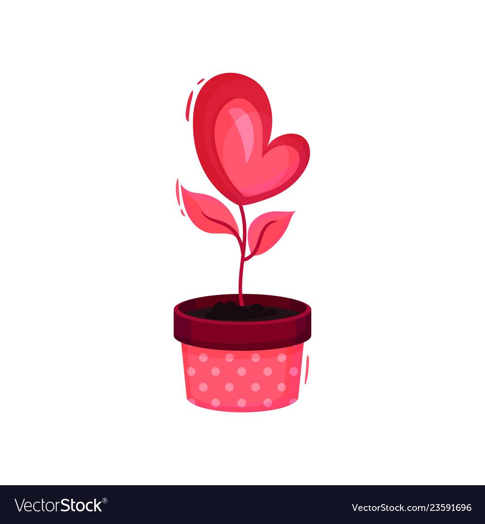 Cute heart-shaped pink flower in pot love plant