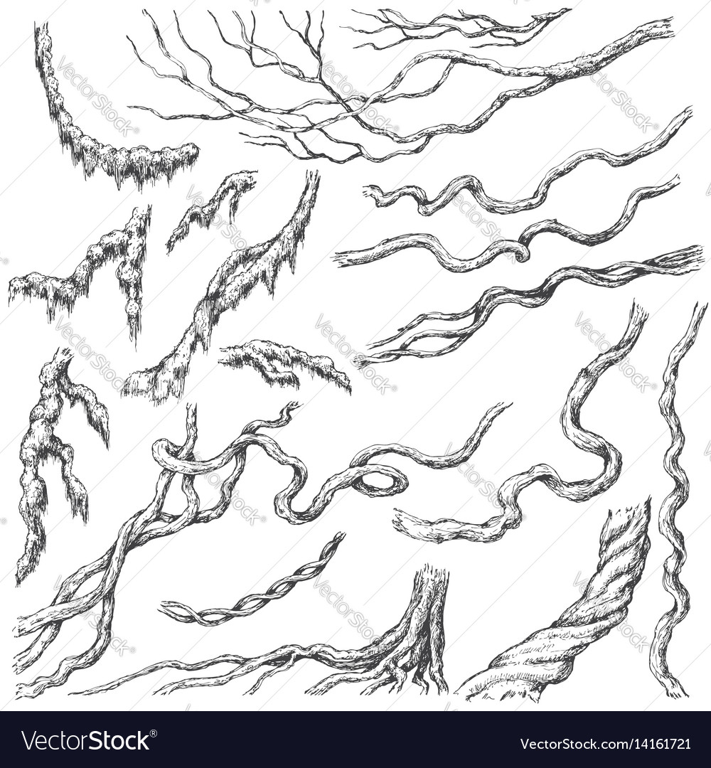 Liana branches sketch