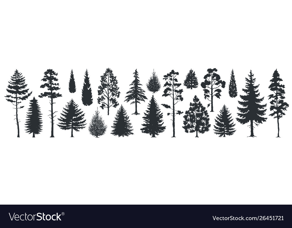 Pine tree silhouettes evergreen forest firs and
