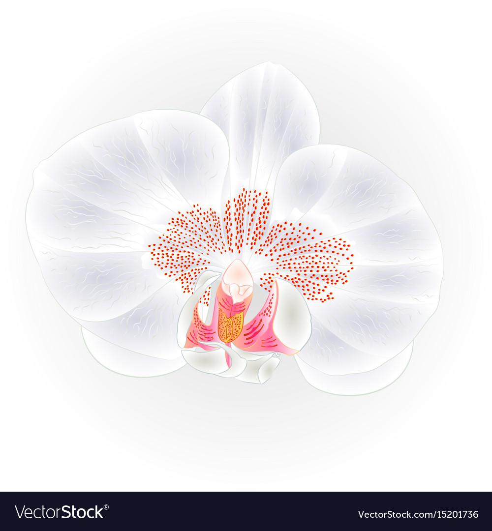 Beautiful orchid white flower phalaenopsis