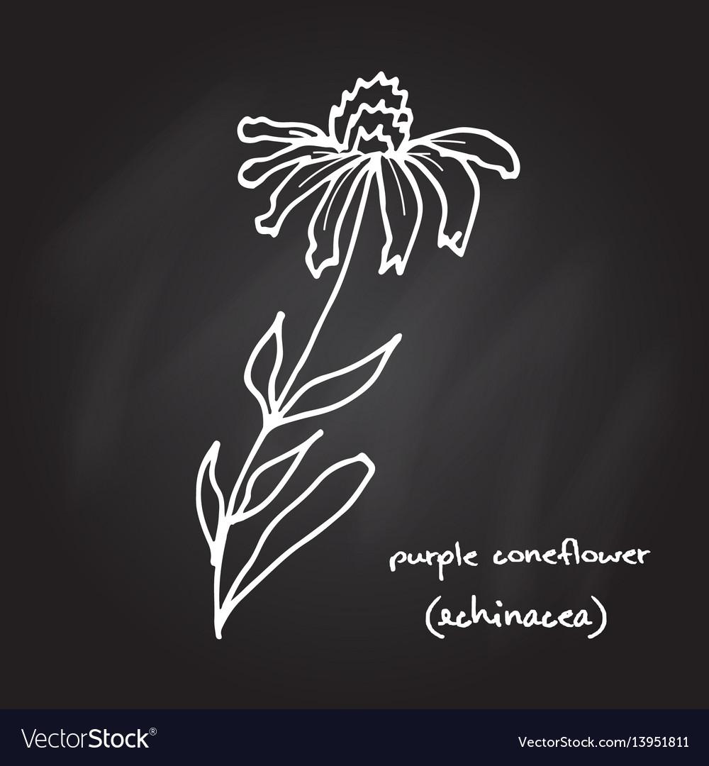 Medicinal plant - echinacea purpurea