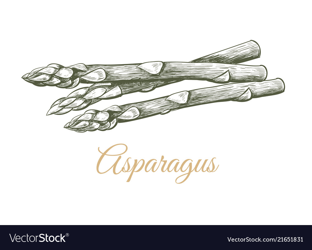Asparagus sketch hand drawing