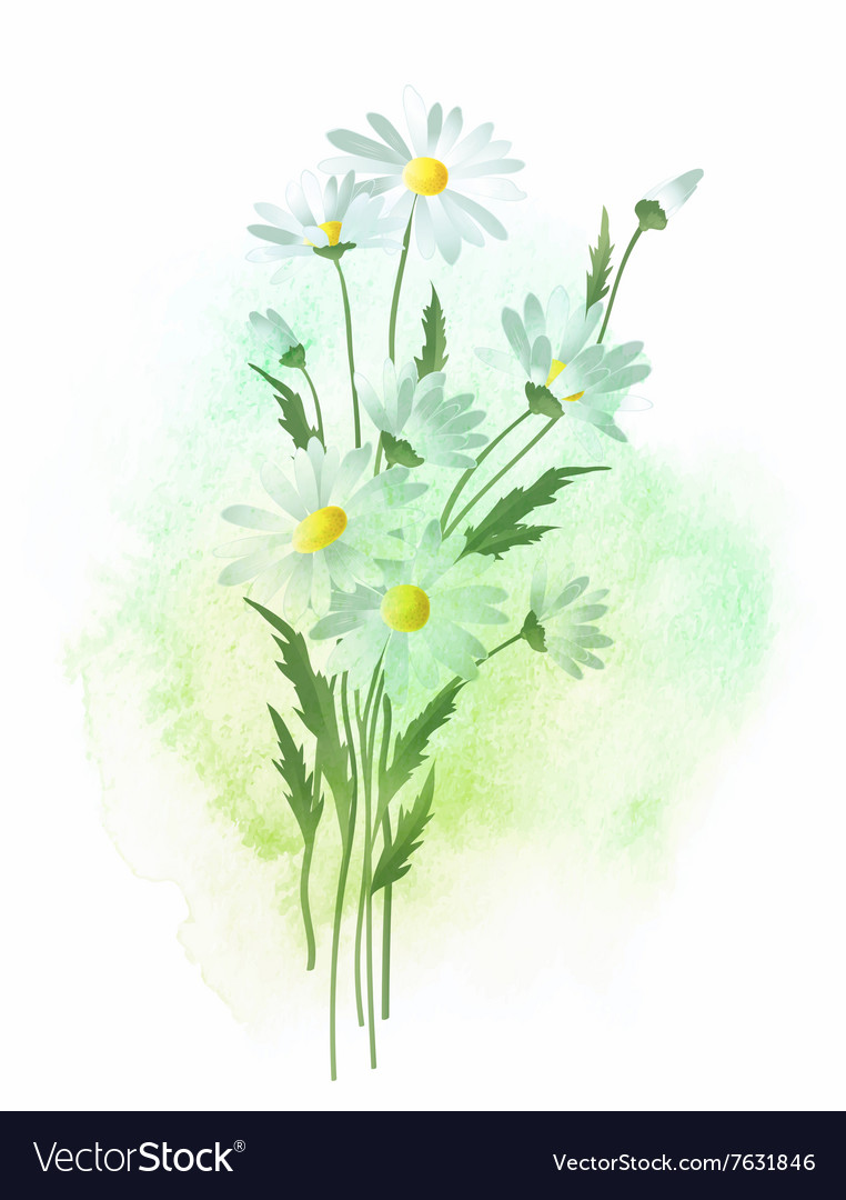 Watercolor chamomile flower