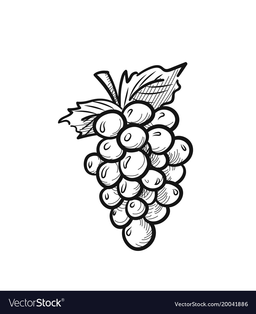 Bunch Of Grapes Hand Drawn Sketch Icon Royalty Free Vector