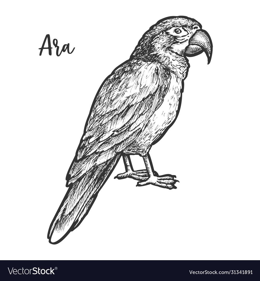 Sketch ara parrot hand drawn neotropical bird