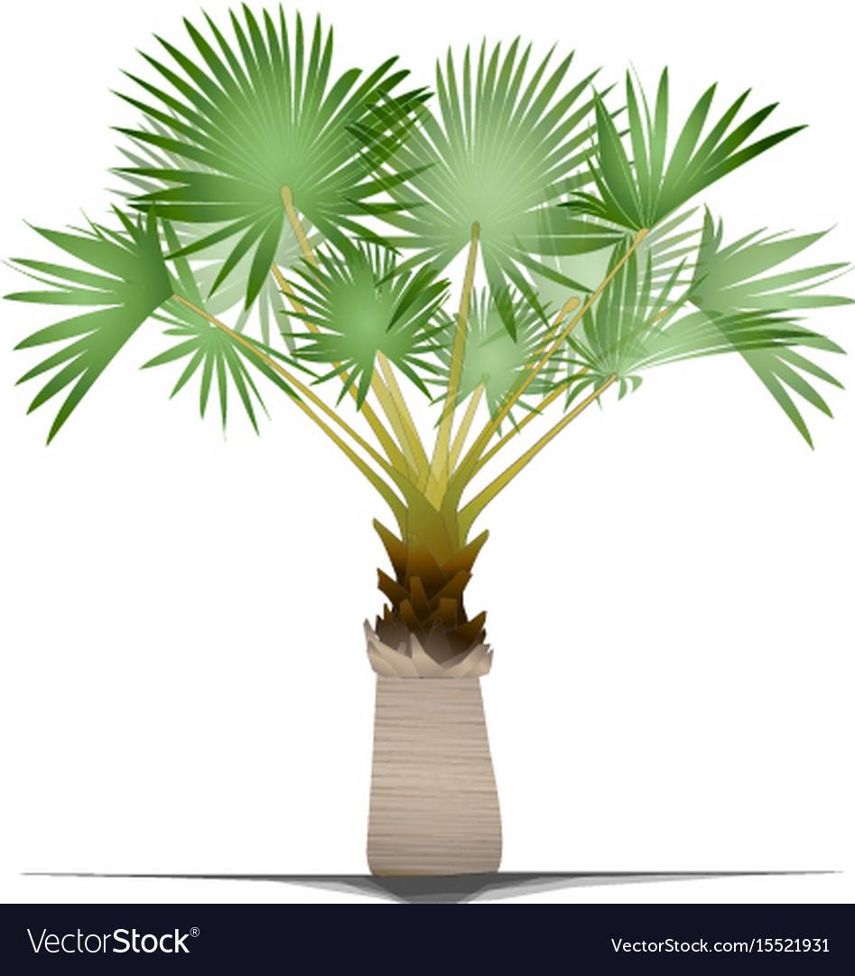 Bismarck palm tree vector image