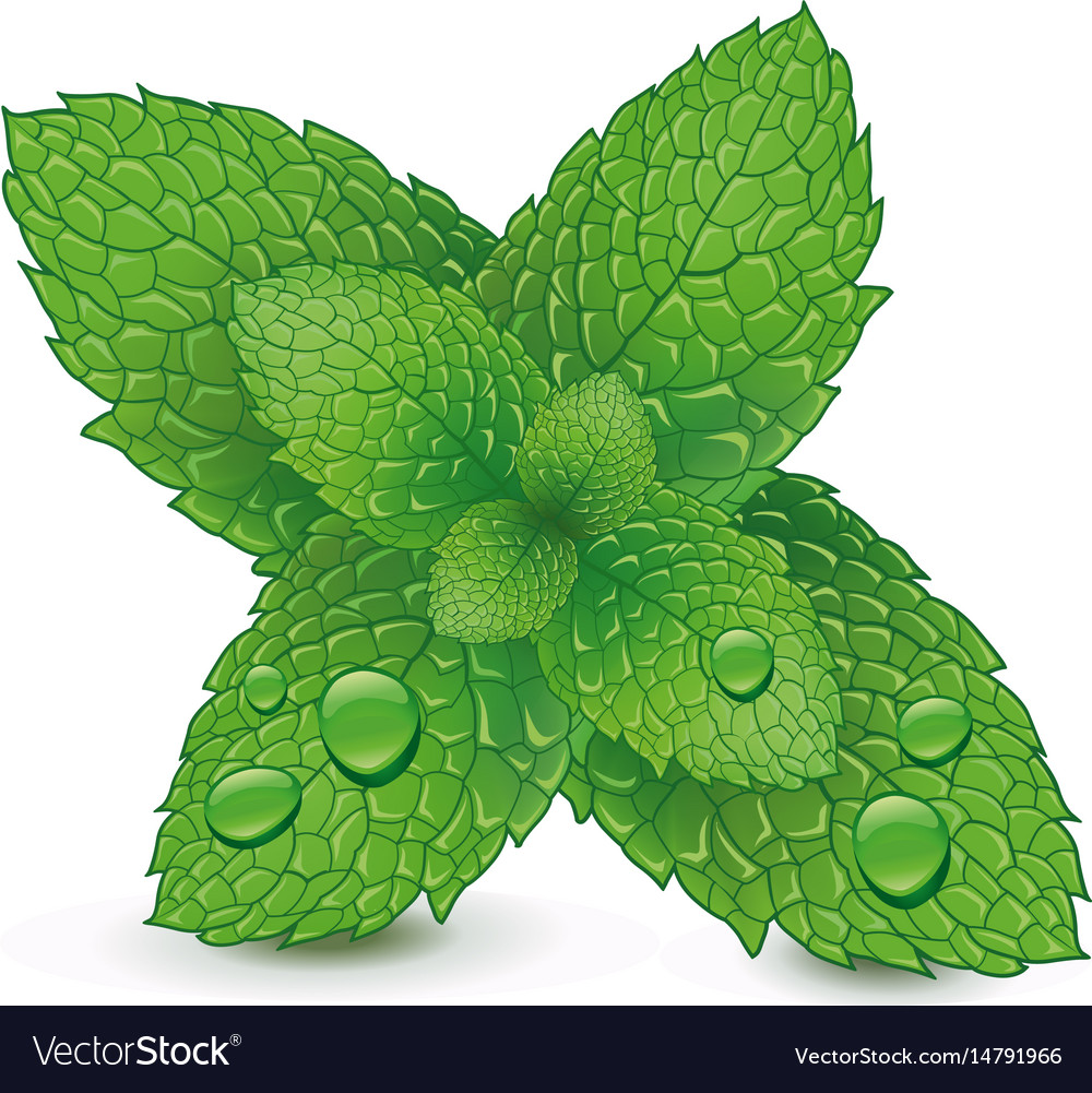 2c2d6678fab9 Fresh mint leaves isolated on white background Vector Image