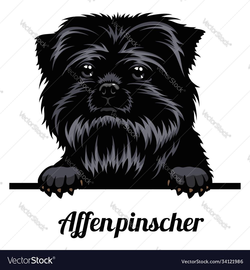 Head affenpinscher - dog breed color image