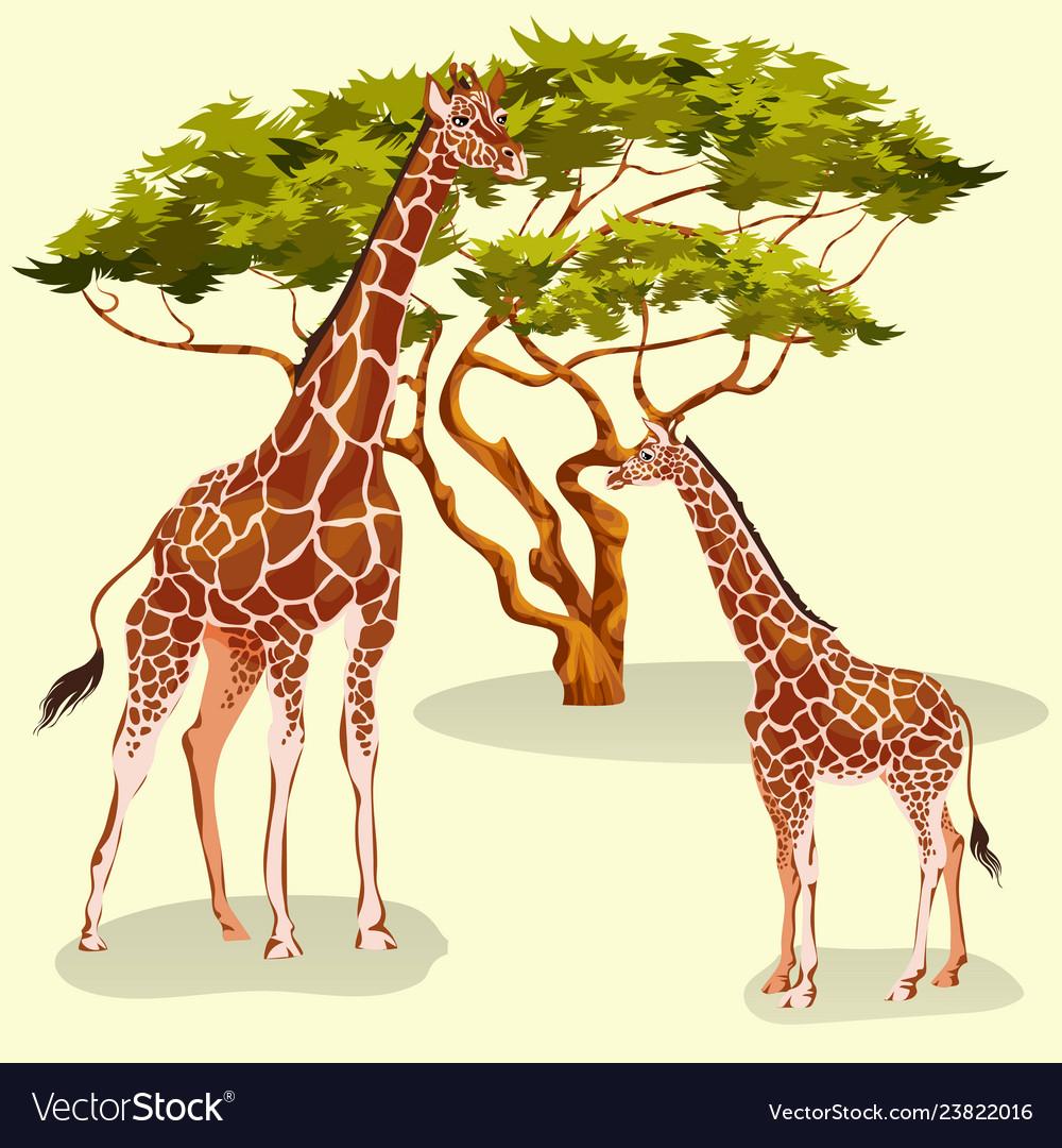 Cartoon giraffes eating foliage of acacia trees in