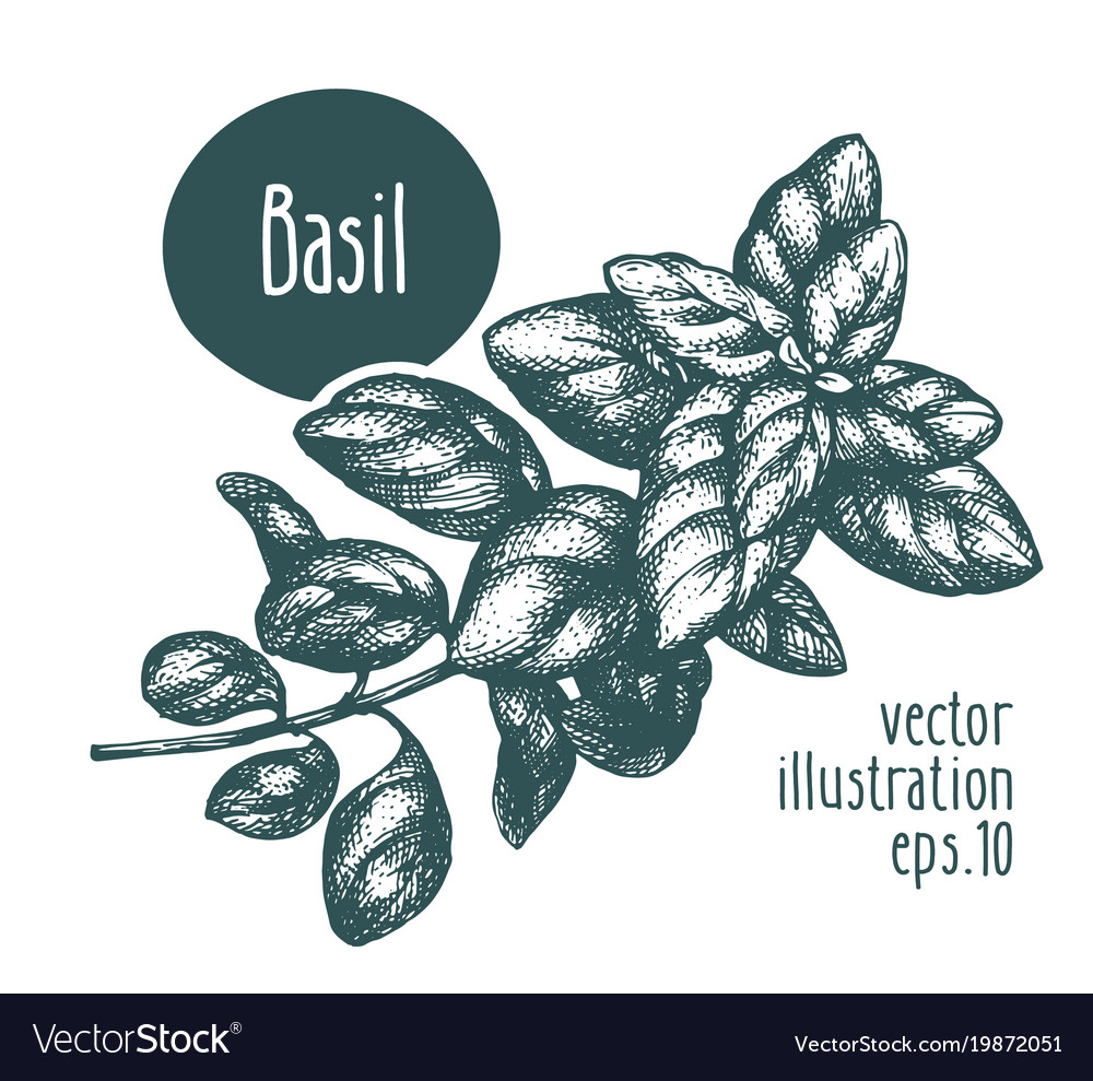 Basil Branch For Design Menu Royalty Free Vector Image