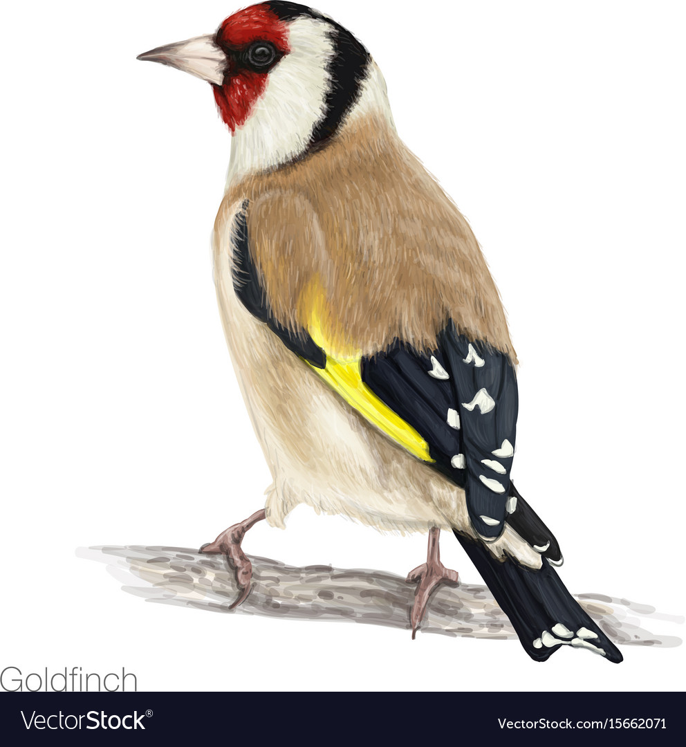 Goldfinch hand drawn