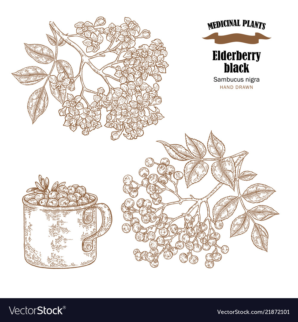 Elderberry black common names sambucus nigra hand