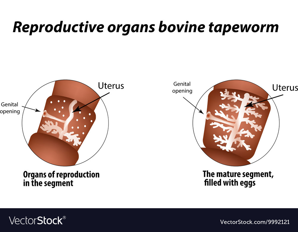 The structure of the reproductive organs of bovine vector image
