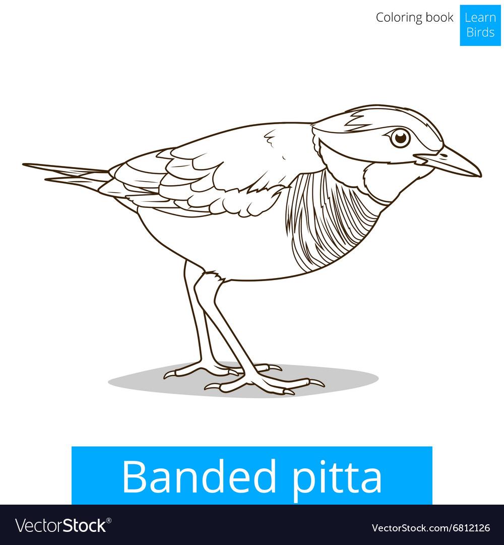 - Banded Pitta Bird Learn Birds Coloring Book Vector Image