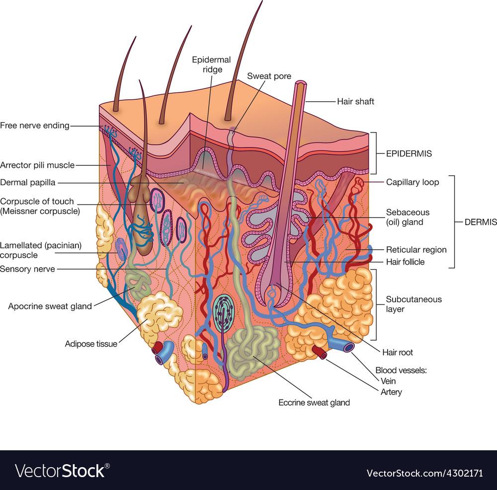 Human Skin Layers Royalty Free Vector Image Vectorstock