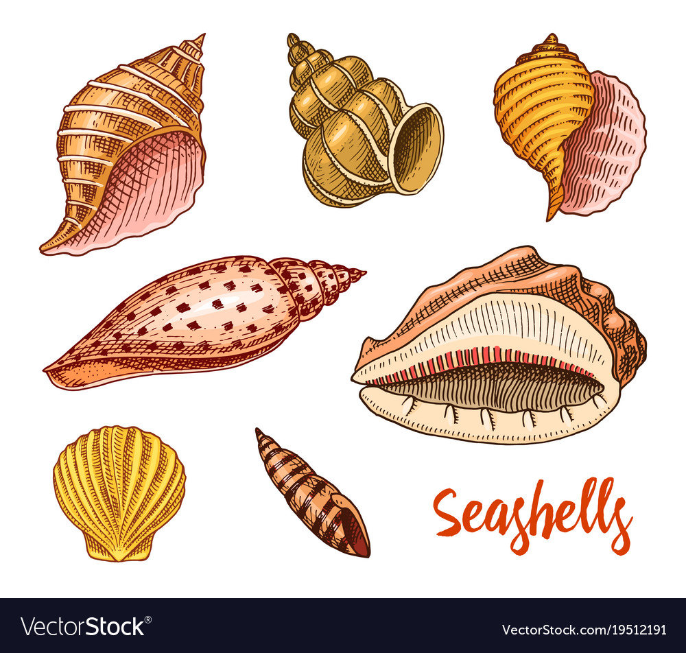 seashells set or mollusca different forms sea vector image