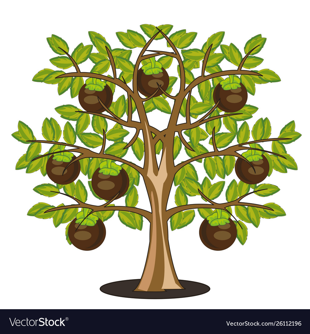 Fruits mangosteen on tree on white background is vector image