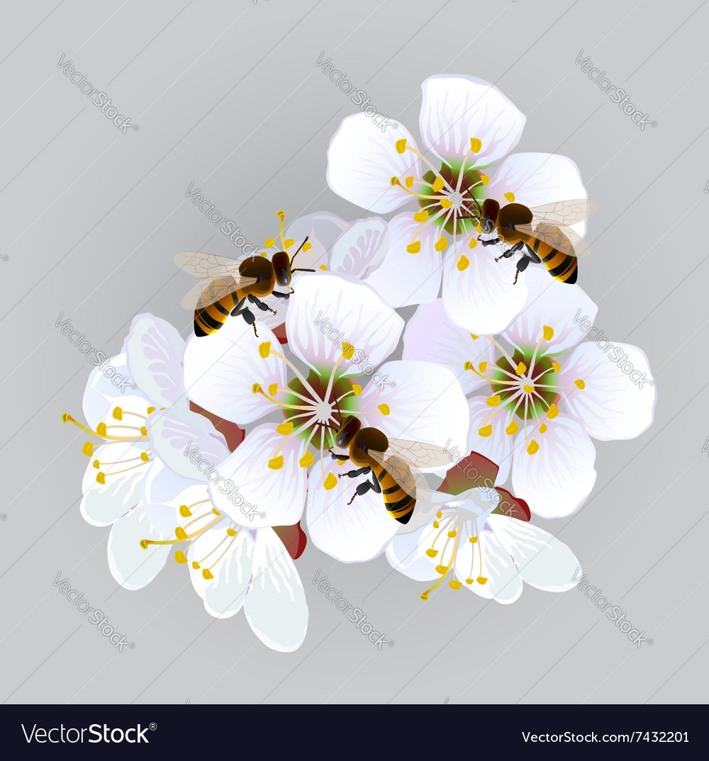 Apricot flowers with bees