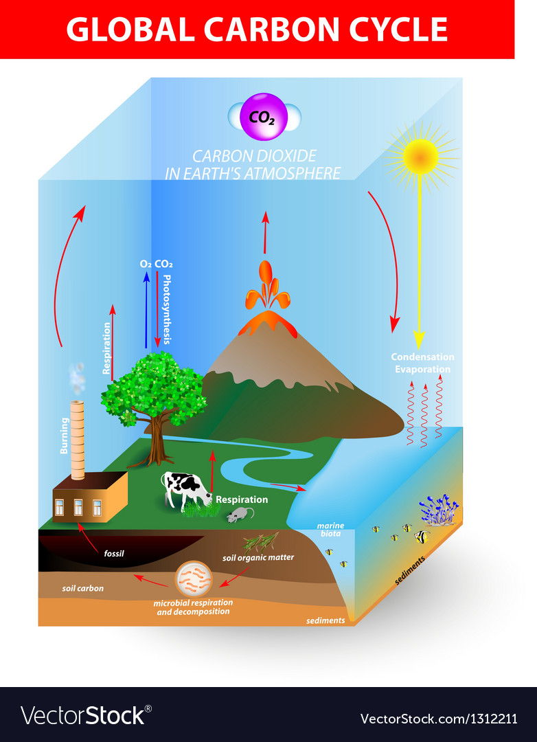 Carbon cycle diagram royalty free vector image carbon cycle diagram vector image ccuart Image collections