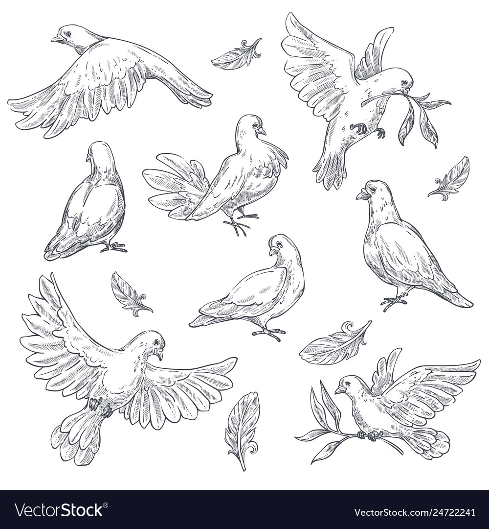 Dove sketch isolated bird peace symbol pigeon