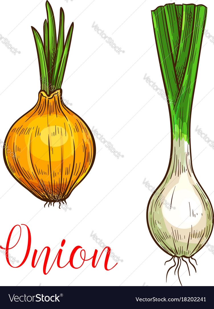 Onion leek sketch vegetable icon