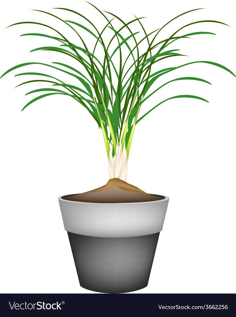Lemon Grass Plant in Ceramic Flower Pots