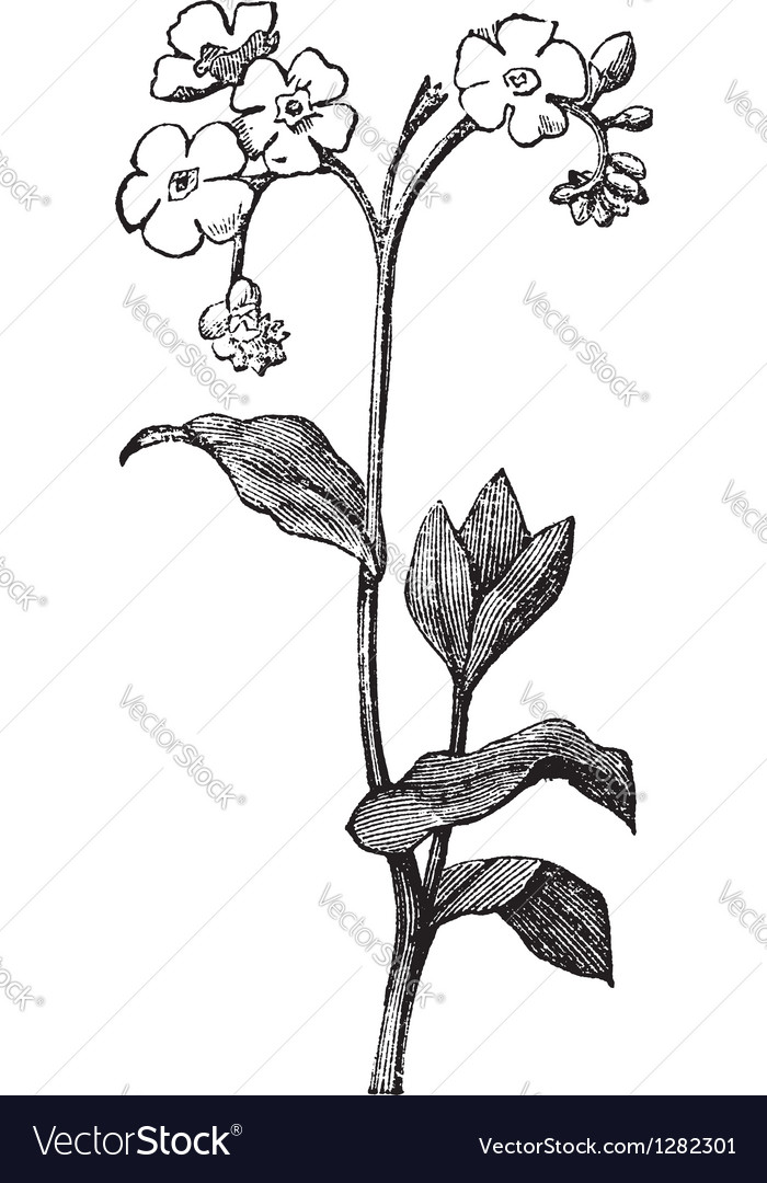 Forget me not Engraving vector image