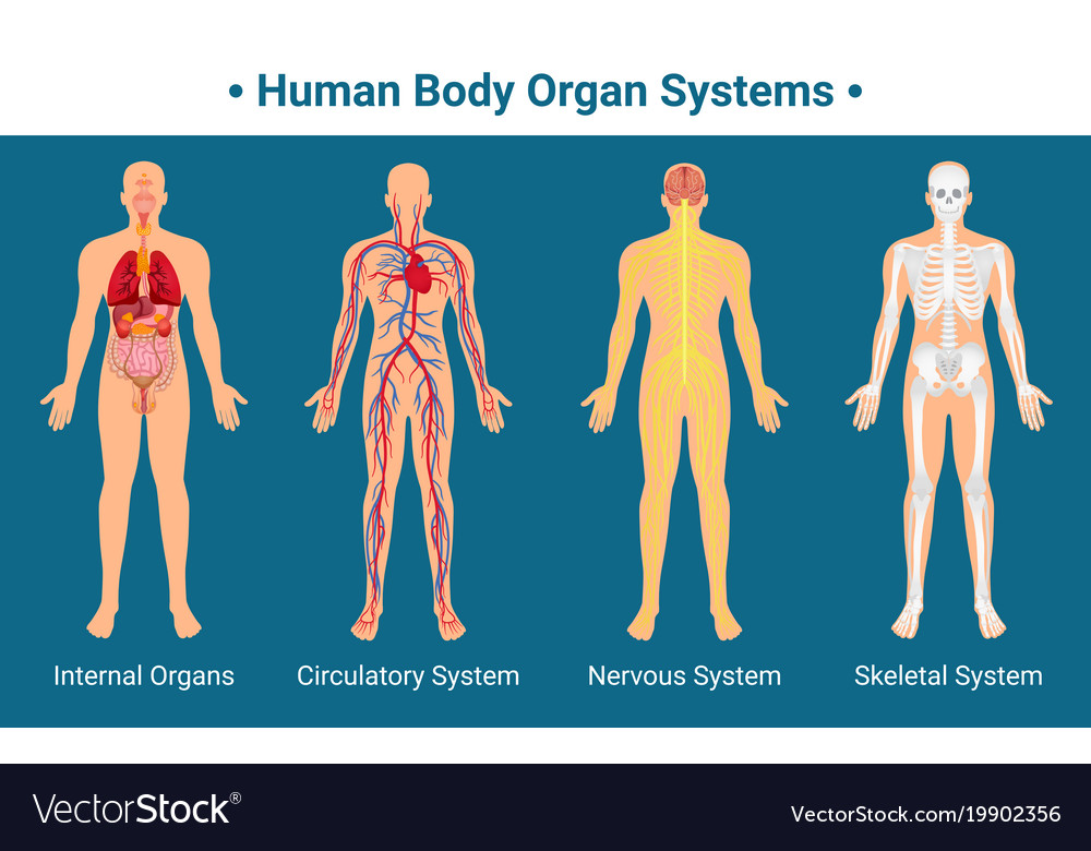 Human Body Organ Systems Poster Royalty Free Vector Image