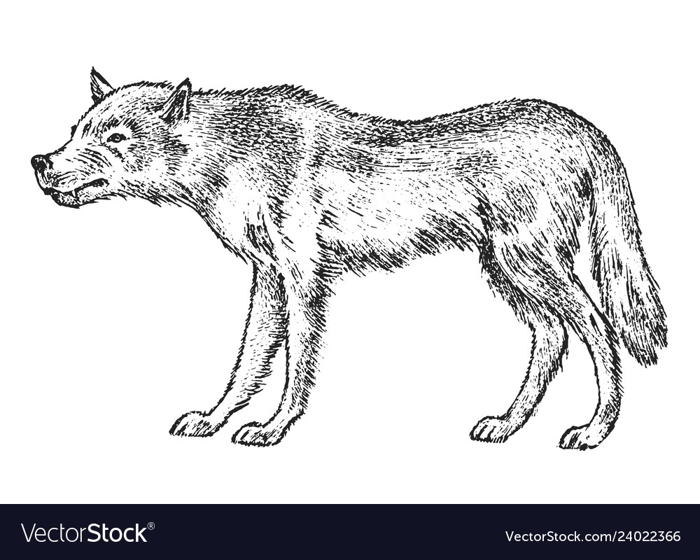 Gray wolf wild animal symbol of the north and