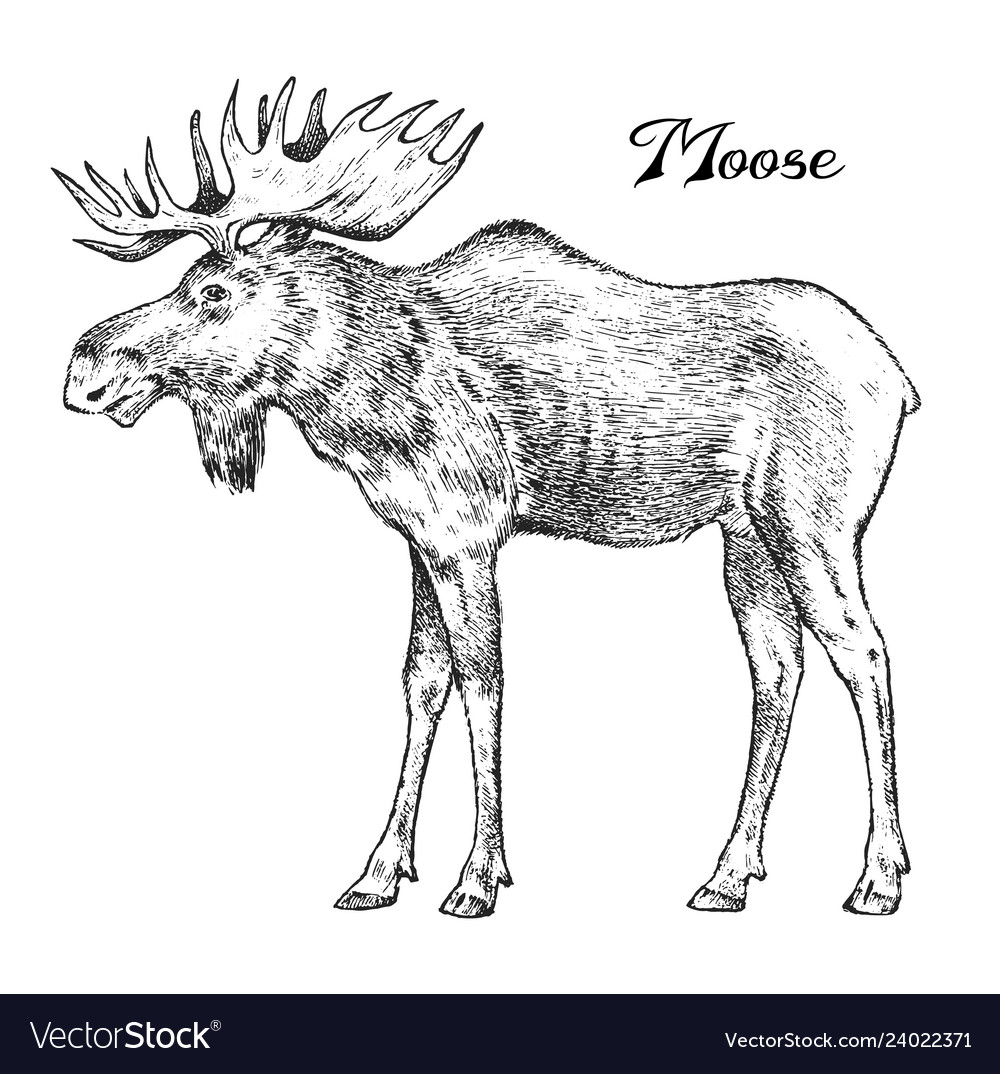 Forest moose wild animal symbol of the north