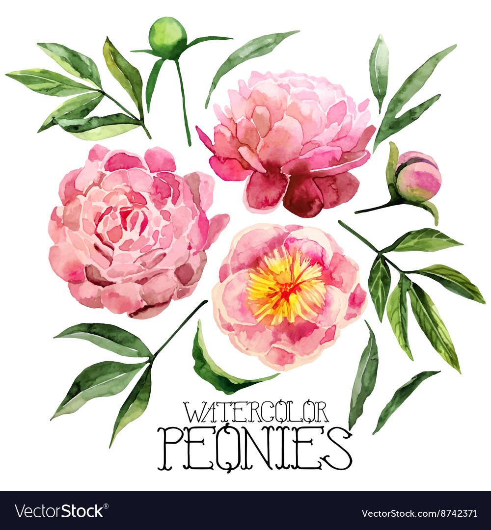 Watercolor peonies set vector image