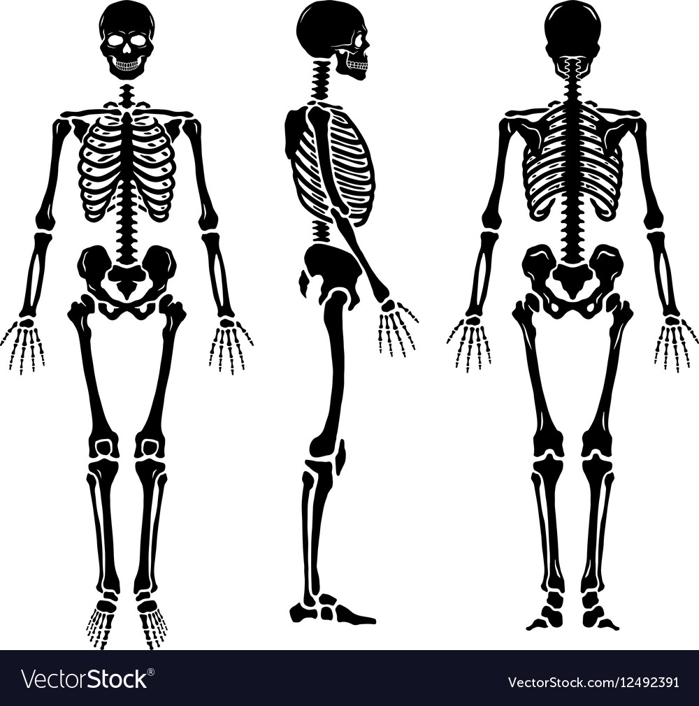 Anatomical human skeleton in three positions