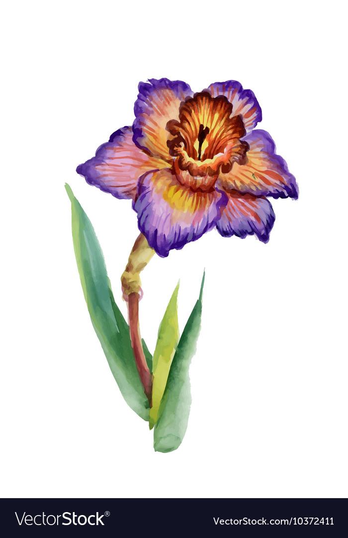 Summer narcissus flower