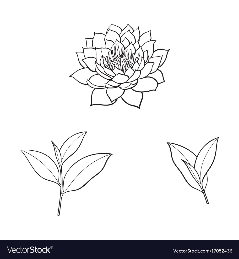 Sketch Lotus Flower Tea Leaves Set Royalty Free Vector Image