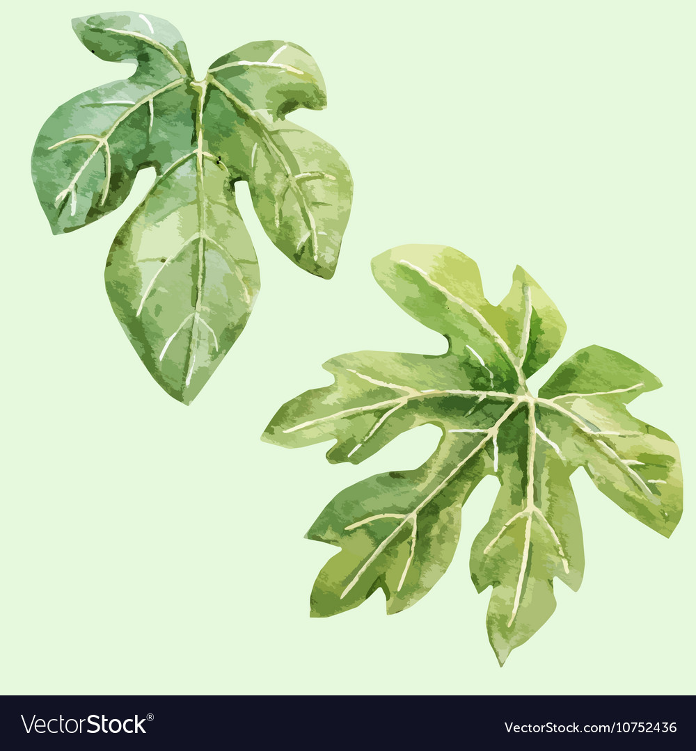 Watercolor Hand Drawn Fig Leaves Vector Image