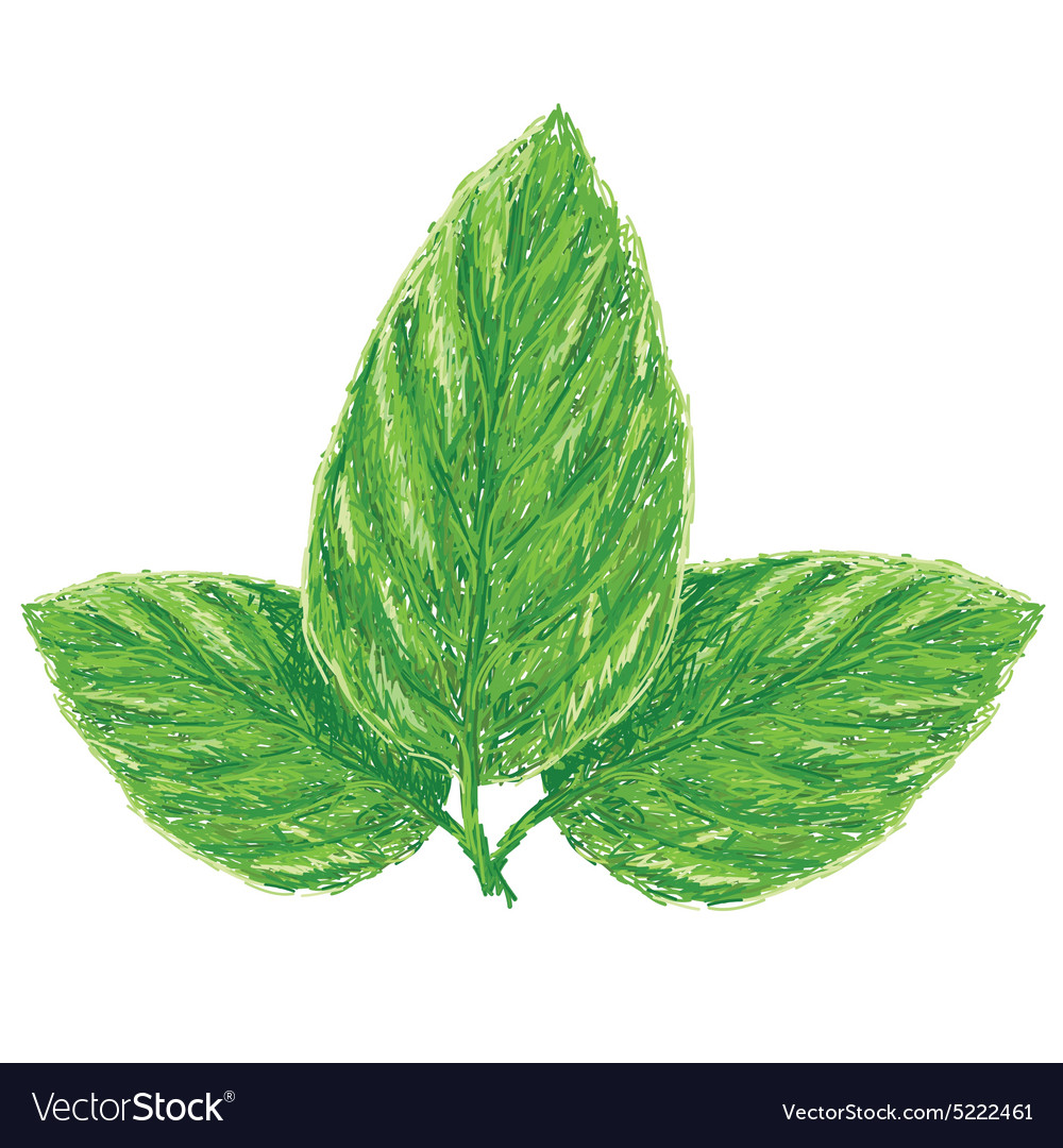 Unique Style Of Fresh Basil Leaves Ocimum Vector Image