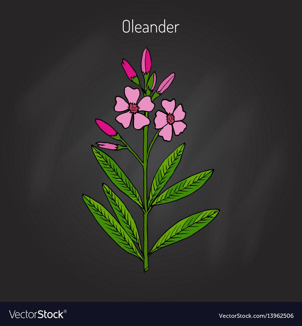 Oleander Nerium Oleander Royalty Free Vector Image